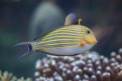 Blau mit einem Band versehenes Surgeonfish Acanthurus lineatus Lizenzfreies Stockbild