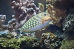 Blau mit einem Band versehenes Surgeonfish Acanthurus lineatus Lizenzfreie Stockfotos