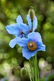 Blau-Mohnblume oder Himalaja-Mohnblume Lizenzfreie Stockbilder