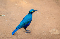 Blau-ohriger Starvogel, Nationalpark Kruger, Südafrika Lizenzfreies Stockbild