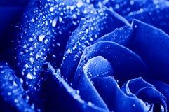 Blau stieg mit Wassertropfen Stockfotos