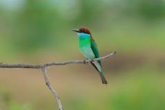 Blau-throated Bee-eater Lizenzfreie Stockfotos
