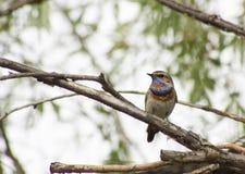 Blau-throated Rotkehlchen auf einer Niederlassung eines Baums Stockbild