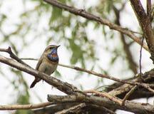 Blau-throated Rotkehlchen auf einer Niederlassung eines Baums Lizenzfreies Stockfoto