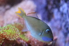 Blau-throated Triggerfish lizenzfreie stockfotos