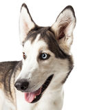 Blau und Brown gemusterter Husky Dog Profile Stockfotografie