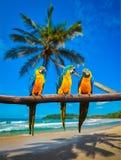 Blau-und-gelbe Keilschwanzsittich-Aronstäbe ararauna Papageien Stockfoto