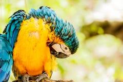 Blau-und-gelbe Keilschwanzsittichpapageien Stockfotos