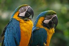 Blau-und-gelbe Macaws Stockbild