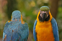 Blau-und-gelbe Macaws Lizenzfreies Stockfoto
