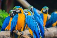 Blau-und-gelber Keilschwanzsittich Stockfotografie