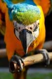 Blau-und-gelber Keilschwanzsittich Stockfotos