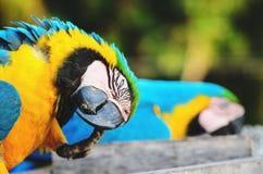 Blau-und-gelber Keilschwanzsittich bekannt als Arara-caninde in Brasilien lizenzfreies stockfoto