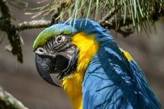Blau-und-gelber Macaw Lizenzfreies Stockfoto