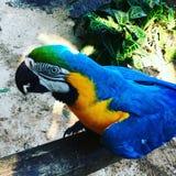 Blau-und-gelber Macaw Stockfoto