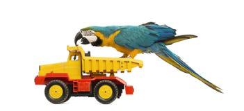 Blau-und-gelber Macaw, Ara ararauna, 30 Jahre alt, einen LKW reiten, Lastwagen Stockfoto