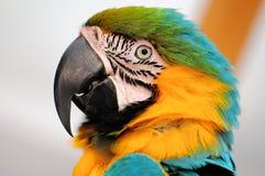 Blau-und-Gelber Macaw-Vogel Lizenzfreie Stockbilder