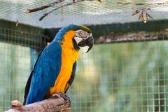 Blau-und-gelbes MacawAra ararauna Lizenzfreie Stockfotos