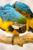 Blau-und Goldkeilschwanzsittich in einem Käfig Stockfotos
