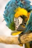 Blau-und Goldkeilschwanzsittich in einem Käfig Stockbilder