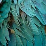 Blau-und Goldkeilschwanzsittichfedern stockbilder