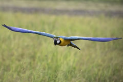 Blau- und Goldkeilschwanzsittichfliegen auf dem Reisgebiet Stockfotos