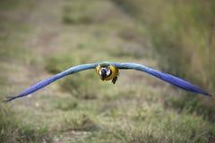 Blau- und Goldkeilschwanzsittichfliegen auf dem Reisgebiet Stockfoto