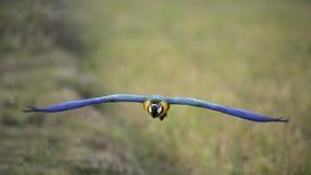 Blau- und Goldkeilschwanzsittichfliegen auf dem Reisgebiet Lizenzfreie Stockfotos