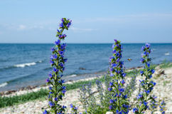 Blau-Unkrautnahaufnahme durch die Küste Stockfoto