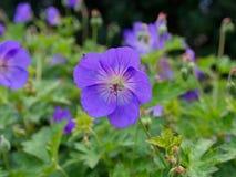 Blau-violette Blume von cranesbill Pelargonie Lizenzfreie Stockbilder