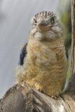 Blau-winged kookaburra stockbild