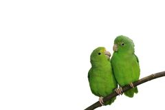 Blau-winged Parrotlets in der Liebe getrennt mit Text Stockfotografie