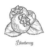 Blaubeerbeere, Frucht, Blatt, Anlage Organische Beere Superfood Gravierte Hand gezeichnet Stockbild