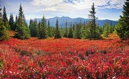 Blaubeerdecke des Herbstes Stockfotografie