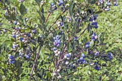 Blaubeere Bush Stockbilder