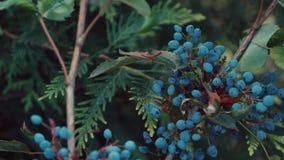 Blaubeere, die in einem botanischen Garten wächst stock video
