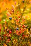 Blaubeere im Herbstwald, Lappland, Finnland Stockfotos