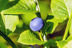 blaubeeren Stockfotos