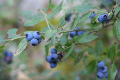 Blaubeeren Stockfoto
