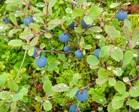 Blaubeeren in Alaska Stockfotografie