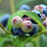Blaubeeren auf Bush Lizenzfreie Stockfotos