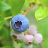 Blaubeeren auf Bush Stockbild