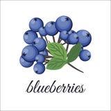 Blaubeeren auf einem Zweig lizenzfreie stockbilder