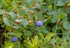Blaubeeren auf einem Zweig Lizenzfreie Stockfotos