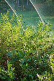 Blaubeeren, die auf dem Busch reifen Stockfotos
