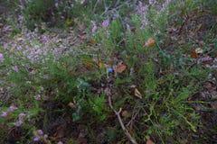 Blaubeeren im Wald stockbild
