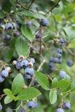 Blaubeeren-loandscape Blau verlässt Frucht Lizenzfreie Stockfotos