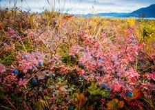 Blaubeeren und die Alaska-Kette Lizenzfreies Stockfoto