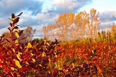 Blaubeerfeld im Herbst Stockfotos