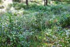 Blaubeerfelder im grünen Wald Stockbilder